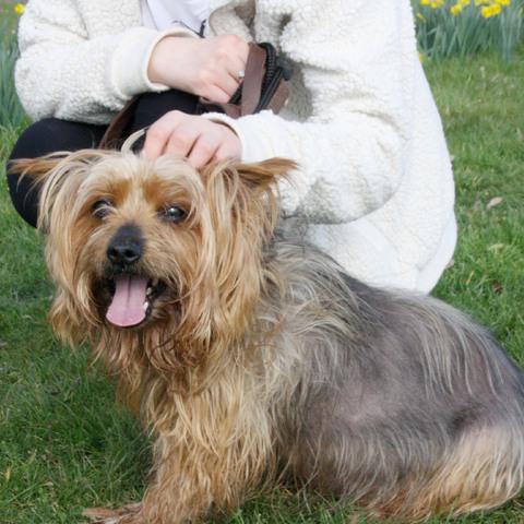 Elevage Yorkshire Terrier Grande Taille