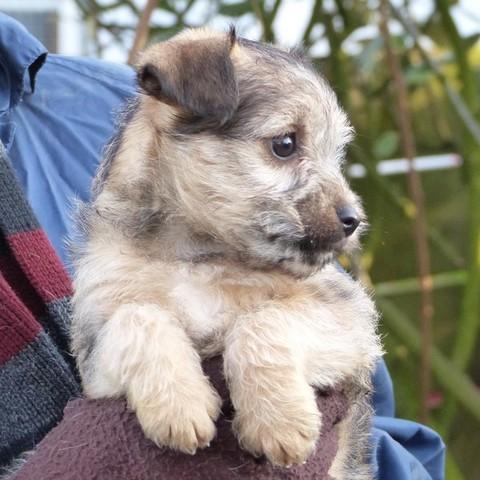 daria chiot yorkshire terrier crois chihuahua adopter dans la r gion pays de la loire. Black Bedroom Furniture Sets. Home Design Ideas