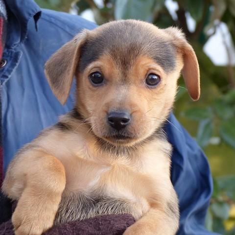 stan chiot yorkshire terrier crois chihuahua adopter dans la r gion pays de la loire. Black Bedroom Furniture Sets. Home Design Ideas