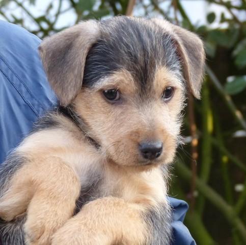 idem chiot yorkshire terrier crois chihuahua adopter dans la r gion pays de la loire. Black Bedroom Furniture Sets. Home Design Ideas