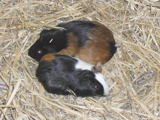 nos cochons d 39 inde tous ne sont pas en photos rongeur nac cochon d 39 inde adopter dans la. Black Bedroom Furniture Sets. Home Design Ideas