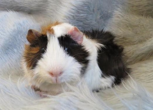 canelle rongeur nac cochon d 39 inde adopter dans la r gion languedoc roussillon. Black Bedroom Furniture Sets. Home Design Ideas