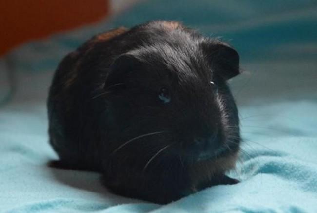 loulou cac364 rongeur nac cochon d 39 inde adopter dans la r gion ile de france. Black Bedroom Furniture Sets. Home Design Ideas