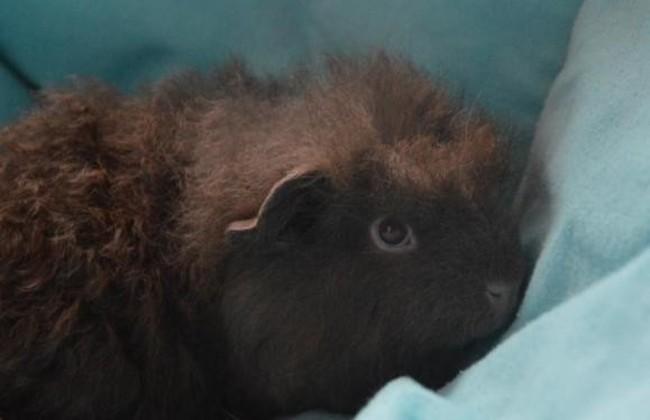 curly cac366 rongeur nac cochon d 39 inde adopter dans la r gion ile de france. Black Bedroom Furniture Sets. Home Design Ideas