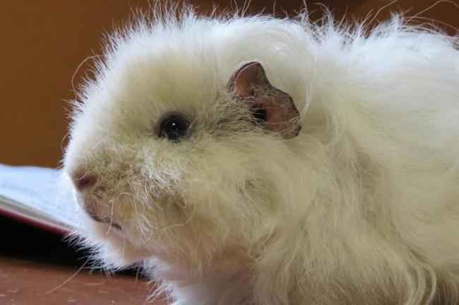 droopy rongeur nac cochon d 39 inde adopter dans la r gion bretagne. Black Bedroom Furniture Sets. Home Design Ideas