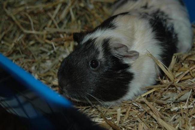 amy rongeur nac cochon d 39 inde adopter dans la r gion aquitaine. Black Bedroom Furniture Sets. Home Design Ideas