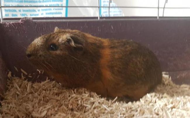 nairobi rongeur nac cochon d 39 inde adopter dans la r gion nord pas de calais. Black Bedroom Furniture Sets. Home Design Ideas