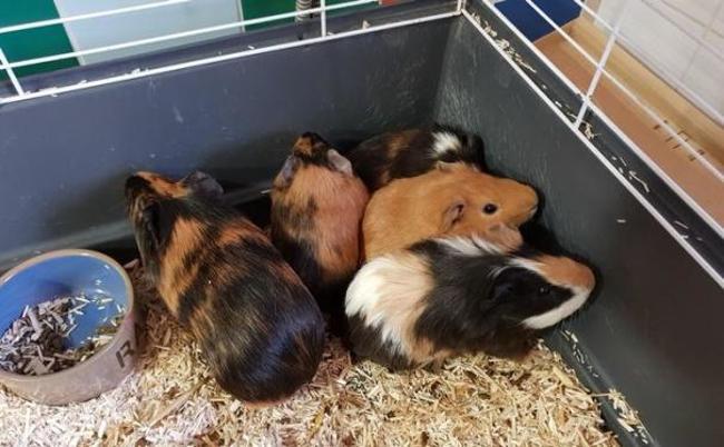 pac752 reste 2m les rongeur nac cochon d 39 inde adopter dans la r gion ile de france. Black Bedroom Furniture Sets. Home Design Ideas