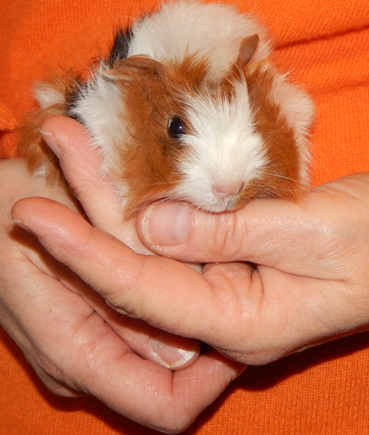 babou 1 mois et demi rongeur nac cochon d 39 inde adopter dans la r gion bretagne. Black Bedroom Furniture Sets. Home Design Ideas