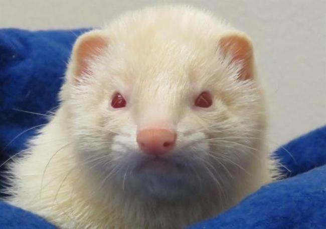 Rennesy Rongeur Nac Furet A Adopter Dans La Region Bretagne