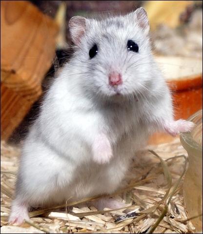 Bergamote hamster russe rongeur nac hamster russe - Hamster russe panda ...
