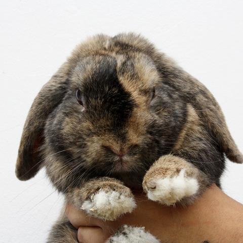 Pompom rongeur nac lapin b lier adopter dans la r gion ile de france - Coup de belier dans tuyauterie ...