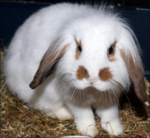 Jarjarbinks rongeur nac lapin belier adopter dans la r gion ile de france - Coup de belier dans tuyauterie ...