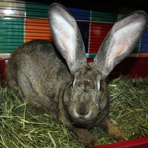 Préférence Earl : rongeur NAC lapin de ferme à adopter dans la région Ile de  JU83