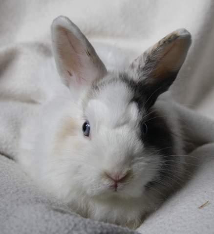 bugs bunny rongeur nac lapin nain blanc tache noir et marron adopter dans la r gion ile de. Black Bedroom Furniture Sets. Home Design Ideas