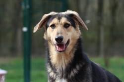 Jill, Chien berger allemand à adopter