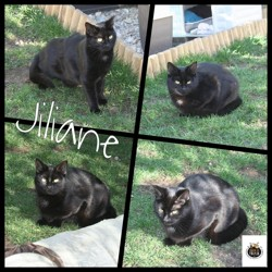 Jilliane & janis, Chat européen à adopter