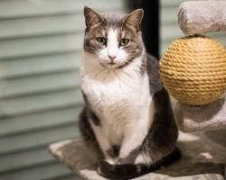 Lizara, Chat à adopter