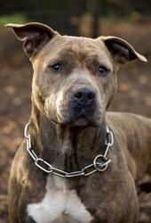 Jasper, Chien american staffordshire terrier à adopter