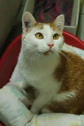 Mikado, Chat  à adopter
