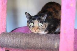 Jiba, Chat à adopter