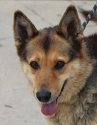 Bianca, Chien berger allemand à adopter