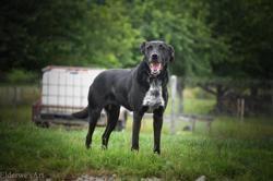 Jessy, Chien berger allemand, border collie à adopter