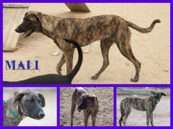 Mali, Chien lévrier espagnol, mâtin espagnol à adopter