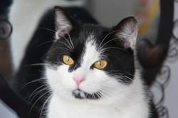 Tipiak chat blanc/noir de 4 ans, Chat à adopter