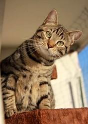 Remus chat tigré de 4 ans a valoir apres confinement, Chat à adopter