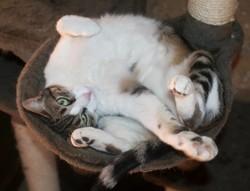 Tiya femelle tigré/blanc de 5 ans, Chat à adopter