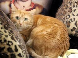 Mylene femelle tigré/roux de 2 ans, Chat à adopter