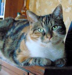Sitelle tricolore de 4 ans 1/2, Chat à adopter