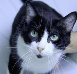 Tobby chat fix blanc/noir de 6 ans 1/2, Chat à adopter