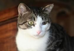Mercredi chat tigré/blanc de 5 ans 1/2, Chat à adopter