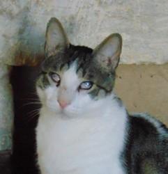 Jack chat tigré/blanc de 5 ans 1/2, Chat à adopter