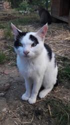 Migrey, Chat européen à adopter