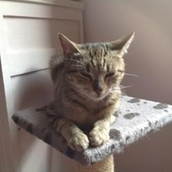 Suzie, Chat européen à adopter