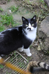 Plumeau, Chat à adopter