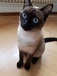 Gavroche, Chat siamois à adopter