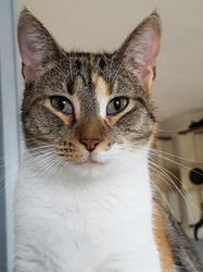 Rosie, Chat  à adopter