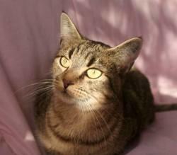 Calinette femelle tigrée de 2 ans 1/2, Chat à adopter
