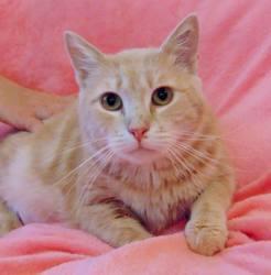 Sahara chat tigré/roux/crème de 1 an, Chat  à adopter