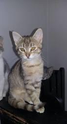 Oriane, aimera vivre avec un copain chat, Chaton européen à adopter