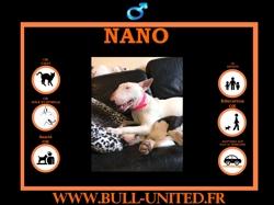 Nano, Chiot bull terrier à adopter