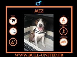 Jazz, Chien bull terrier à adopter