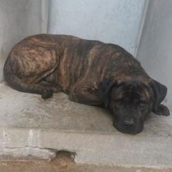 Survivor, Chien cane corso à adopter