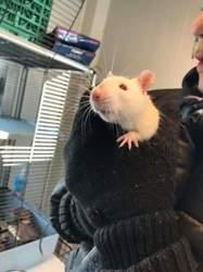 Rats, Animal  à adopter