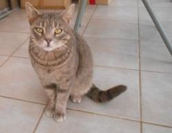 Mitou, Chat européen à adopter