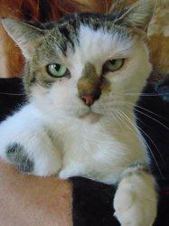 Moun chat tigré/blanc de 9 ans, Chat à adopter